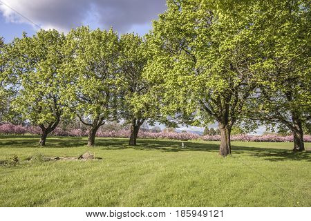 Trees in a park and Spring blooms Oregon.
