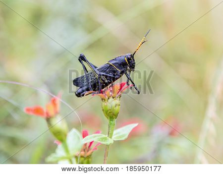 Painted grasshopper or horse lubber grasshoppers, are found in the grasslands of central Mexico. Grasshoppers of Mexico.