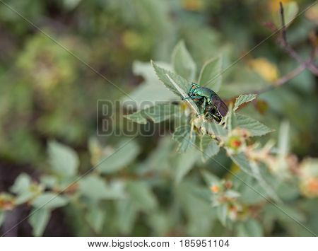 Green beetle eating leaves on a tree in Central Mexico.