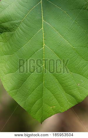 Closed up focus young Teak leaf - show detail vain partial