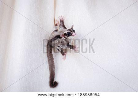 Cute sugar glider on curtain at home