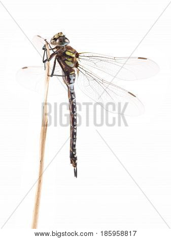 Dragonfly Migrant Hawker (Aeshna mixta) on a white background