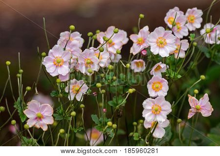 Closeup of Japanese Anemone (Windflower) flowers in pink with yellow stamens in garden (Anemone hupehensis vel japonica)