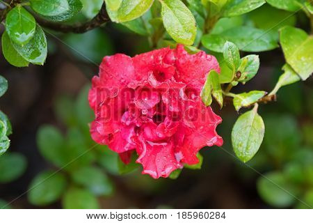 Soft focus of wet Azalea Indica Goyet, frilly double flower in red blooming in garden in Tasmania, Australia