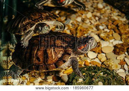 A family of turtles swim in an aquarium. Trachemys scripta
