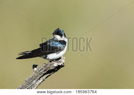 Tree Swallow with head facing tail on old branch