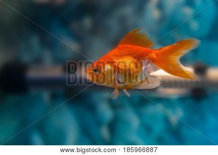 Gold Fish small aquarium fish swimming in the aquarium