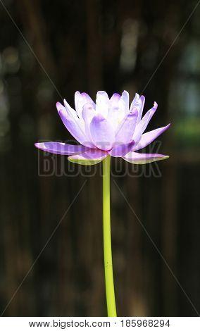 Purple waterlily or lotus flower with dark background