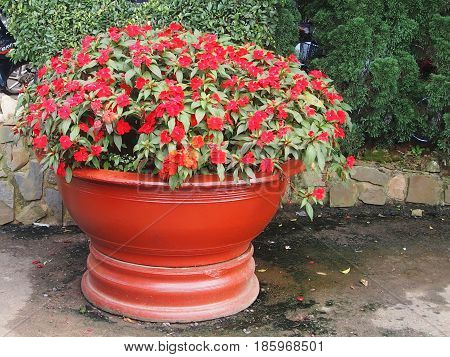 Balsam flowers in a big red pot
