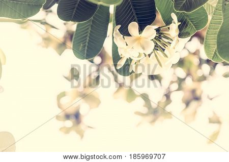 Tropical beach holidays background with beautiful frangipani flowers with sunshine as tropical background in vintage style