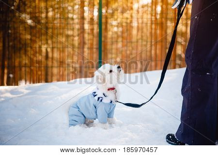 Bichon-Frize dog on the street is practicing with the dog sitter in the clothes for dogs, kombenizon, winter sunset aviary. Cynologist