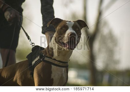 A great example of a rottweiler dog during a leash training with his chin. Dog look.