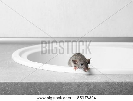 Cute little rat getting out the sink