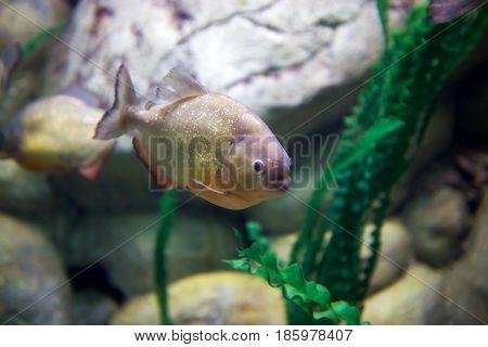 Predatory fish piranha, dangerous for animals and humans