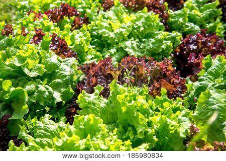 Fresh Lollo Rosso Lettuce In The Garden