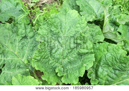 huge leaf of a green burdock, in the middle surrounded by plants
