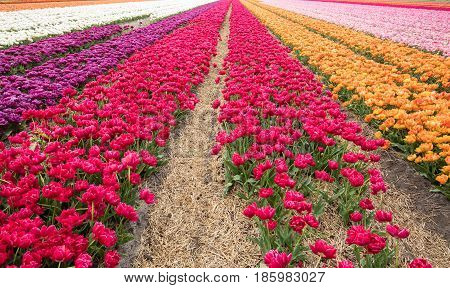 Tulip fields of the Bollenstreek South Holland Netherlands