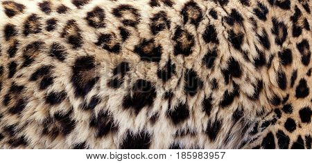 Leopard fur background showing the beautiful spotty pattern print with space for text.