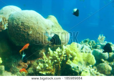 Bicolor Chromis or Chromis margaritifer on a tropical coral reef