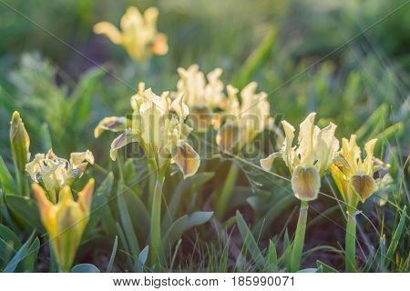 Spring wildflowers wallpaper with blossoming yellow iris