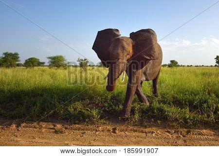 Elephants , Serengeti natural park, Tanzania