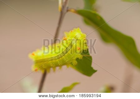 Macro Closeup Of A Green Io Moth Caterpillar Moth Caterpillar Green Caterpillar on leaf