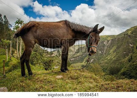 A donkey above canyon on Quilotoa loop trail near Latacunga, Ecuador