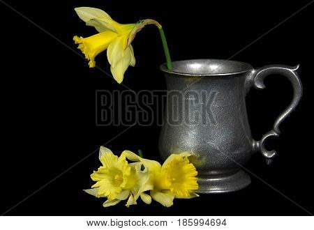 daffodil in antique pewter pitcher isolated on black