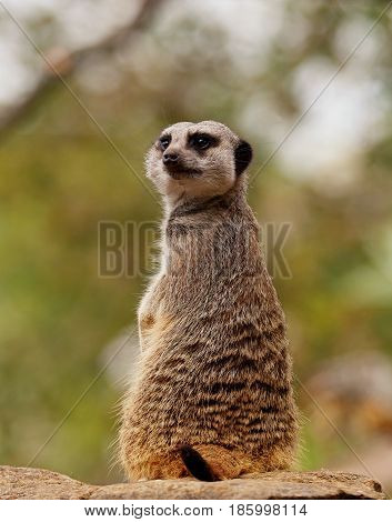 One cute meerkat looking behind him whilst upright with space for text.
