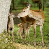 Deer with her fawns in the forest poster