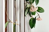 A bunch of gentle flowers Hoya against a white iron railings stairs. poster