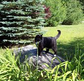 black cat on large rock in garden poster