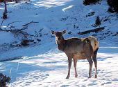 A female elk in the snow staring poster