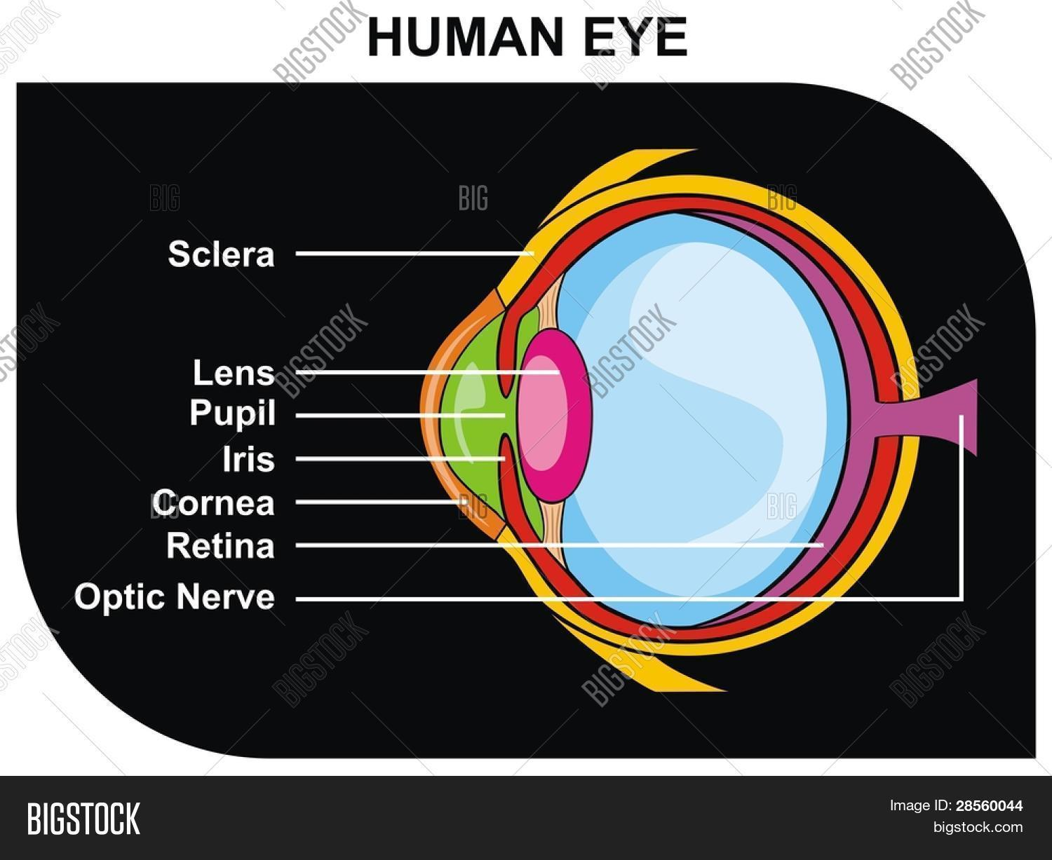 Vector human eye vector photo free trial bigstock vector human eye cross section including eye parts sclera lens pupil ccuart Choice Image