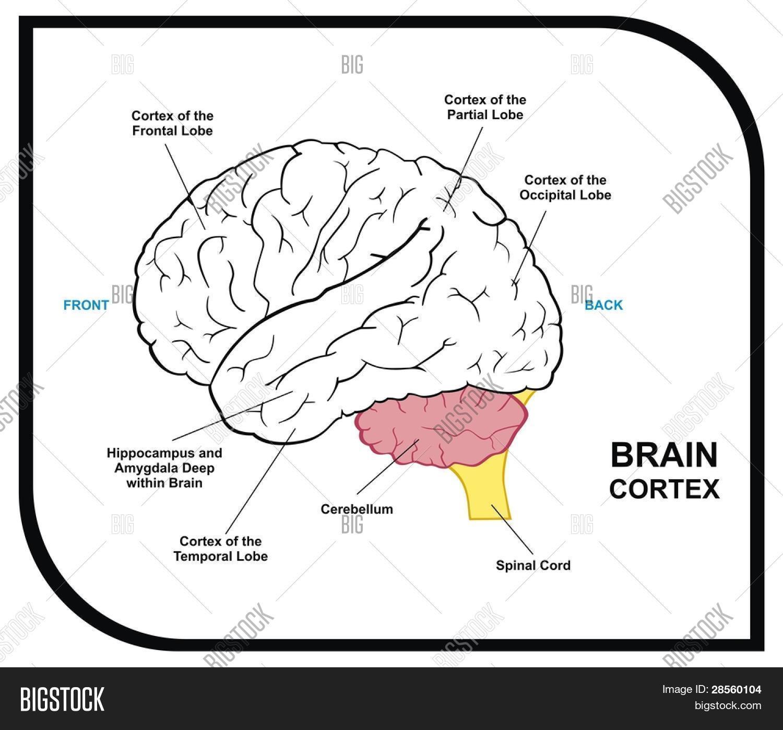 Vector y foto VECTOR - Diagrama De Cerebro Humano | Bigstock