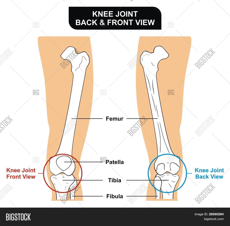 Bild und Foto: Knie Gemeinsame Vorder- Und Rü   Bigstock