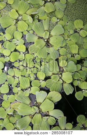 Pond Water Plants. Green plants growing on top of a koi pond.