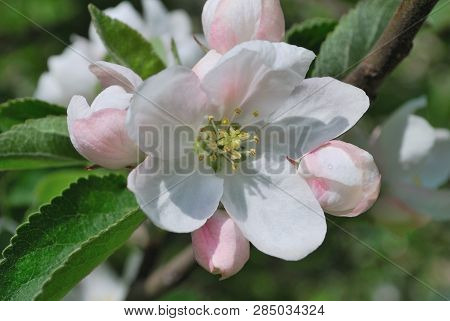 Beautiful Delicate Flowers Of The Apple Tree In A Sunny Spring Day
