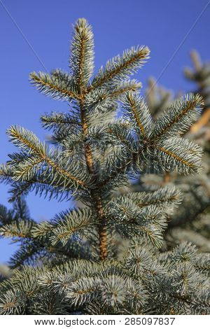 Branches Of Blue Spruce On The Sky Background.