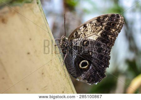 Beautiful Owl Butterfly (caligo Memnon), On A Blurred Background. Macro Photo. Close-up.