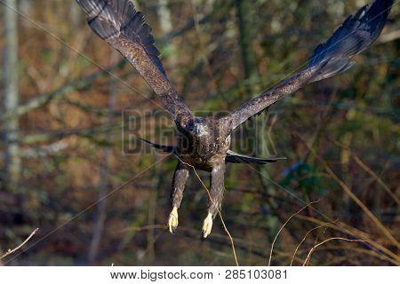 Juvenile Bald Eagle Flies Through Bushes Towards Camera, One Eye Covered By A Nictitating Membrane.