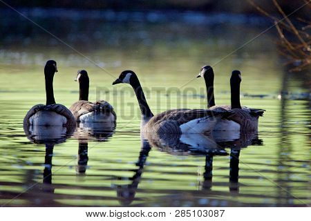 Group Of Canada Geese Swim Through Green Reflection, Their Own Reflections Making An Interesting Pat