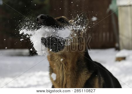 German Shepherd Catches Snowball In Midair With High Shutter Speed.