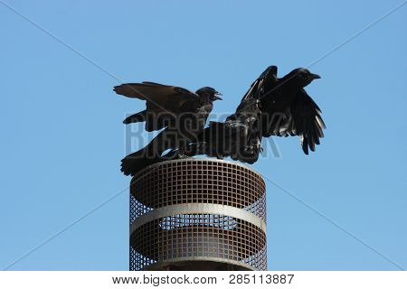 This Is An Image Of Three Birds Fighting Over A Resting Place For Two Taken On A Clear Sunny Day In