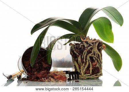 The Process Of Transplanting Phalaenopsis Orchids In The Home Isolated On White Background