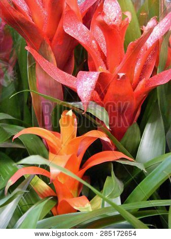 Bromeliad Plant Guzmania In Pink, Red And Orange Colors
