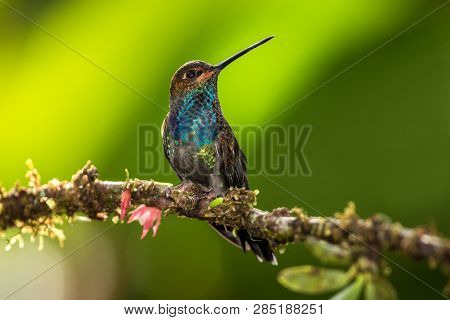 White-tailed Hillstar Sitting On Branch, Hummingbird From Tropical Rainforest,brazil,bird Perching,t