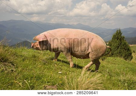 Pig Grazing In Freedom In The Mountains