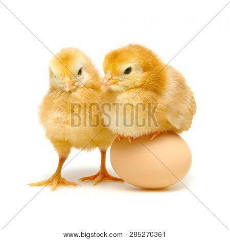 brown egg and chicks isolated on a white background