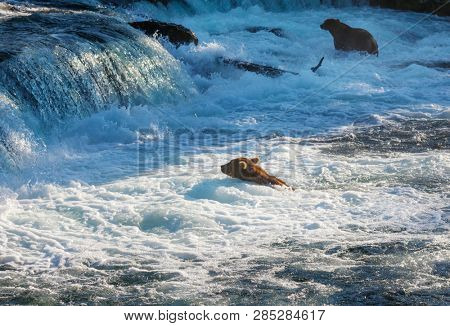 A grizzly bear hunting salmon at Brooks falls. Coastal Brown Grizzly Bears fishing at Katmai National Park, Alaska. Summer season. Natural wildlife theme.